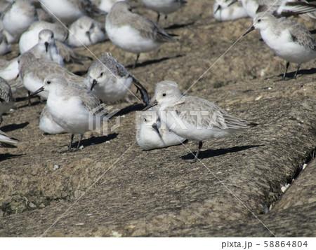 検見川浜の岸壁で給餌が終わって一休みのミユビシギ 58864804