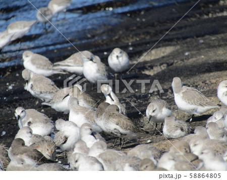 検見川浜の岸壁で給餌が終わって一休みのミユビシギ 58864805