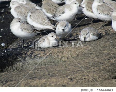 検見川浜の岸壁で給餌が終わって一休みのミユビシギ 58866084