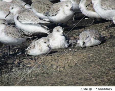 検見川浜の岸壁で給餌が終わって一休みのミユビシギ 58866085