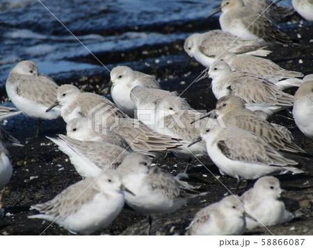検見川浜の岸壁で給餌が終わって一休みのミユビシギ 58866087