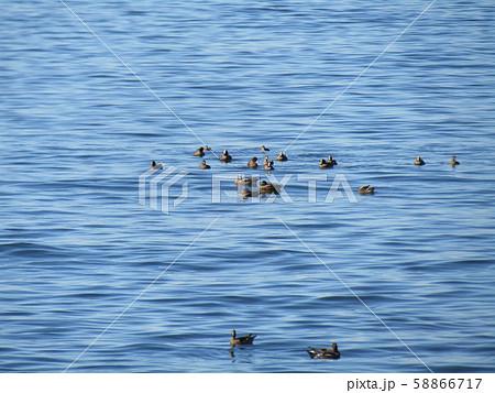 検見川浜の海岸に今年もやってきました冬の渡り鳥ヒドリガモ 58866717