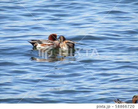 検見川浜の海岸に今年もやってきました冬の渡り鳥ヒドリガモの番 58866720