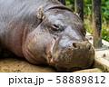 居眠りするコビトカバ 東京上野 58889812