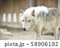 【オオカミ】シンリンオオカミ 58906192