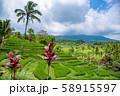 インドネシア バリ島 ジャティルイのライステラス 棚田 58915597
