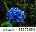 【京都】鈴虫寺 新緑 紫陽花 58972654