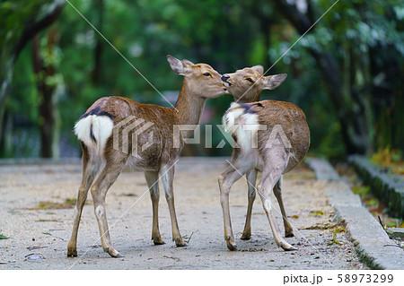 奈良公園の鹿 58973299