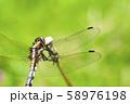 休息するムギワラトンボ 58976198