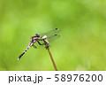 休息するムギワラトンボ 58976200