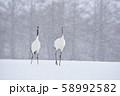 雪が降る給餌場のタンチョウ親子(北海道・鶴居) 58992582