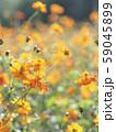 キバナコスモスの花畑 寄り2 縦構図 59045899