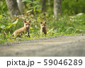 キタキツネの子供(北海道) 59046289