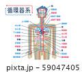 日本語で各部位の名称が記載された循環器系のシンプルなイラスト 59047405