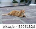 スフィンクスポーズの猫 59061328