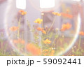 光の中のキバナコスモス 59092441