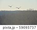 早朝の空を飛ぶハクチョウの群れ(北海道) 59093737
