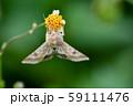 オオタバコガ 59111476