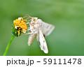 オオタバコガ 59111478