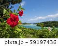 南国に咲くハイビスカス 59197436