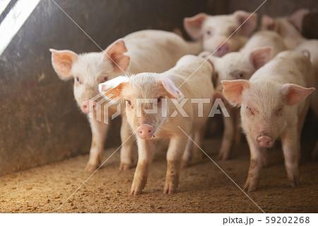 三元豚 子豚 59202268