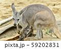 【カンガルー】母親のお腹の袋に入る子供のカンガルー 59202831