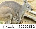 【カンガルー】母親のお腹の袋に入る子供のカンガルー 59202832