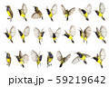 Beautiful flying Bird (Olive-backed Sunbird) 59219642