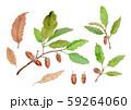 Quercus serrata コナラ どんぐり 59264060