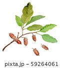 Quercus serrata コナラ どんぐり 59264061