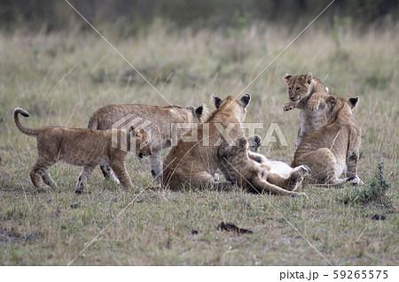 ママに甘えるライオンの子供たち 59265575