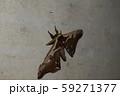 ヒメヤママユ 59271377