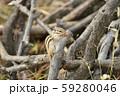ドングリを食べるシマリス 59280046