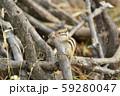ドングリを食べるシマリス 59280047
