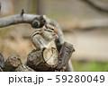 ドングリを食べるシマリス 59280049