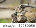 ドングリを食べるシマリス 59280050