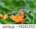 ヒメアカタテハ 59281553
