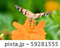 ヒメアカタテハ 59281555