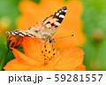 ヒメアカタテハ 59281557