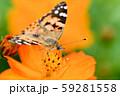 ヒメアカタテハ 59281558