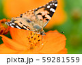 ヒメアカタテハ 59281559