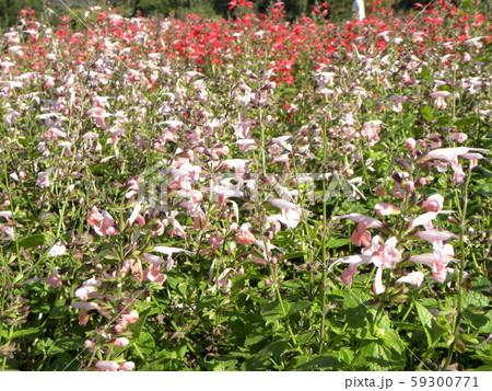 ピンクの花はサルビアコクシアナの花 59300771