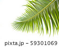 Green leaves of palm tree isolated on white 59301069
