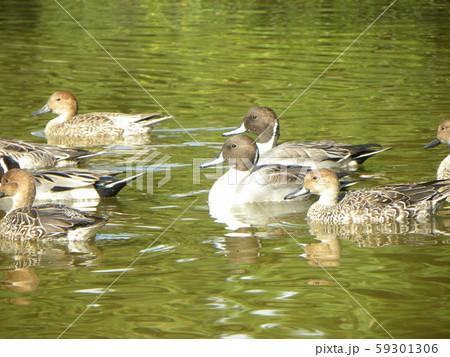 稲毛海浜公園の池に来た冬の渡り鳥オナガガモ 59301306