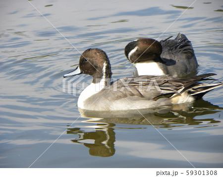 稲毛海浜公園の池に来た冬の渡り鳥オナガガモ 59301308