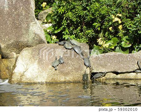 稲毛海浜公園の池に沢山の亀 59302010