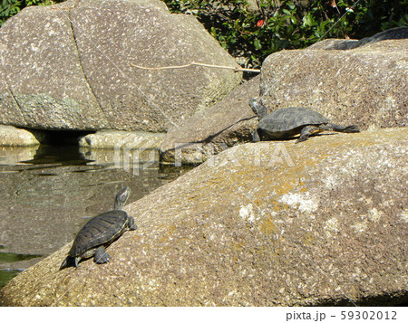 稲毛海浜公園の池に2匹の亀 59302012