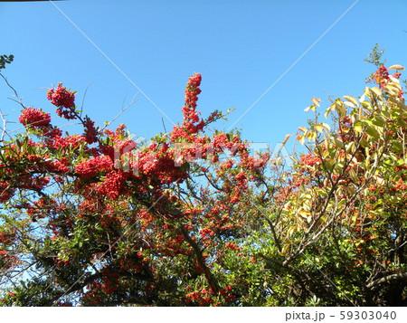 真っ赤になった谷津干潟公園のピラカンサの実 59303040