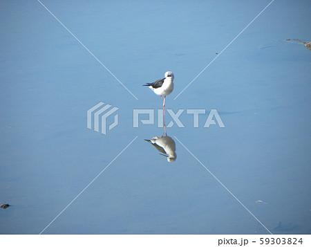 谷津干潟公園のセイタカシギの可憐な姿 59303824