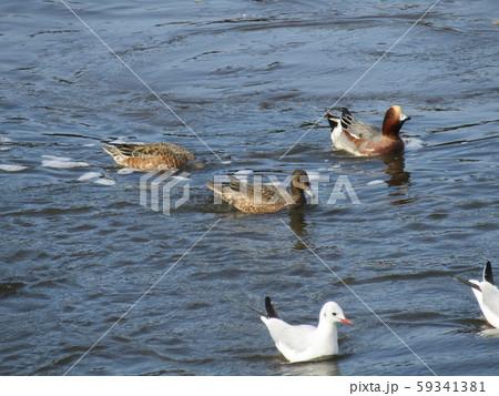 ウミネコと渡り鳥のヒドリガモ 59341381